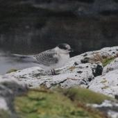 Antarctic tern. Fledgling. Enderby Island,  Auckland Islands, January 2018. Image © Colin Miskelly by Colin Miskelly