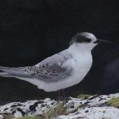 Antarctic tern. Juvenile. Enderby Island,  Auckland Islands, January 2018. Image © Colin Miskelly by Colin Miskelly