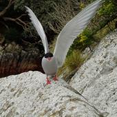 Antarctic tern. Adult in breeding plumage, wings raised. The Snares, September 2013. Image © Paul Sagar by Paul Sagar