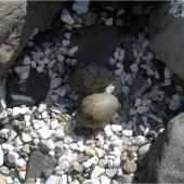 Antarctic tern. Nest with eggs. Campbell Island, January 2006. Image © Colin Miskelly by Colin Miskelly