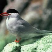 Antarctic tern. Adult. North East Island, Snares Islands, November 1986. Image © Colin Miskelly by Colin Miskelly