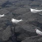 Antarctic tern. Non-breeding adult (lower right) roosting with three white-fronted terns. Enderby Island,  Auckland Islands, January 2018. Image © Colin Miskelly by Colin Miskelly