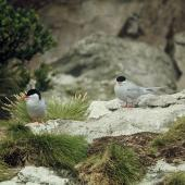 Antarctic tern. Pair near nest site. Snares Islands, December 1973. Image © Department of Conservation (image ref: 10043362) by Rod Morris Courtesy of Department of Conservation