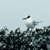 Antarctic tern. Immature. Antipodes Island, November 1978. Image © Department of Conservation (image ref: 10043084) by Andy Cox Courtesy of Department of Conservation