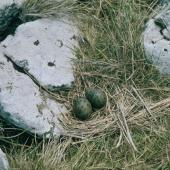 Antarctic tern. Nest with 2 eggs. Rose Island, Auckland Islands, December 1996. Image © Department of Conservation (image ref: 10042330) by Greg Sherley Courtesy of Department of Conservation