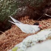 Antarctic tern. Adult on nest. Snares Islands, January 1987. Image © Colin Miskelly by Colin Miskelly