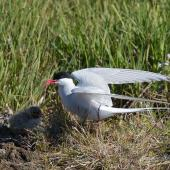 Arctic tern. Adult and chick. Iceland, July 2012. Image © Sonja Ross by Sonja Ross