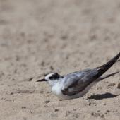 Arctic tern. Immature bird on beach. Mordialloc, Victoria, Australia, November 2010. Image © Sonja Ross by Sonja Ross