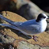 Arctic tern. Immature. Aramoana Mole,  Dunedin, April 2015. Image © Jason Wilder by Jason Wilder