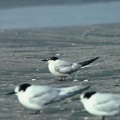 Common tern. Adult losing breeding plumage, with white-fronted terns. Waikanae River estuary, November 1985. Image © Alan Tennyson by Alan Tennyson