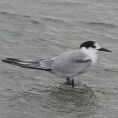 Common tern. Adult in non-breeding plumage. Manawatu River estuary, January 2013. Image © Alan Tennyson by Alan Tennyson
