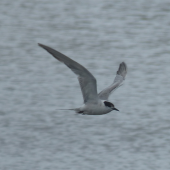 Common tern. Adult in flight. Manawatu River estuary, November 2014. Image © Alan Tennyson by Alan Tennyson