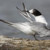 Common tern. Immature preening, showing primary pattern. Manawatu River estuary, March 2010. Image © Phil Battley by Phil Battley