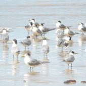 Crested tern. Flock. Fraser Island, Queensland, August 2008. Image © Alan Tennyson by Alan Tennyson