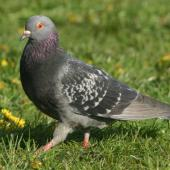 Rock pigeon. Adult male showing chequered plumage. Cape Kidnappers, April 2006. Image © Dick Porter by Dick Porter