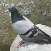 Rock pigeon. Adult showing pied plumage. Lake Rotoroa, Hamilton, January 2012. Image © Alan Tennyson by Alan Tennyson