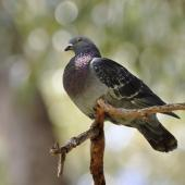 Rock pigeon. Adult perched. Flat Bush, Auckland, October 2014. Image © Marie-Louise Myburgh by Marie-Louise Myburgh