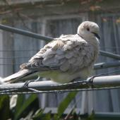 Barbary dove. Perching adult showing ruffled feathers. North Shore, Auckland, September 2012. Image © Josie Galbraith by Josie Galbraith
