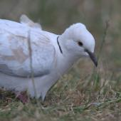 Barbary dove. Adult showing facial detail. Mangere Bridge, December 2015. Image © George Curzon-Hobson by George Curzon-Hobson