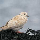 Barbary dove. Adult seen on fishing vessel. Off west coast of North Island, April 2015. Image © Leon Berard by Leon Berard