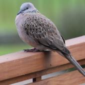 Spotted dove. Adult. Waihi, December 2016. Image © Tim Barnard by Tim Barnard