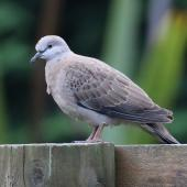 Spotted dove. Juvenile. Kaukapakapa, North Auckland, March 2016. Image © Geoff de Lisle by Geoff de Lisle
