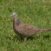 Spotted dove. Adult with nesting material. North Shore, Auckland, January 2009. Image © Peter Reese by Peter Reese