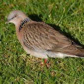 Spotted dove. Adult on ground. North Shore, Auckland, July 2009. Image © Peter Reese by Peter Reese