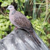 Spotted dove. Perching adult in captivity. Staglands, Akatarawa Road, February 2011. Image © Duncan Watson by Duncan Watson