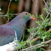 New Zealand pigeon. Feeding on tree lucerne. Maud Island, September 2008. Image © Peter Reese by Peter Reese