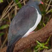 New Zealand pigeon. Adult. Maud Island, September 2008. Image © Peter Reese by Peter Reese