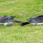 New Zealand pigeon. Pair on ground. Kapiti Island, November 2006. Image © Peter Reese by Peter Reese