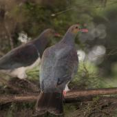 New Zealand pigeon. Perching adult showing back. Little Barrier Island, March 2010. Image © Art Polkanov by Art Polkanov