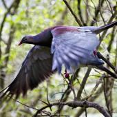 New Zealand pigeon. Captive bird in flight showing upperwing. Hamilton, October 2012. Image © Raewyn Adams by Raewyn Adams