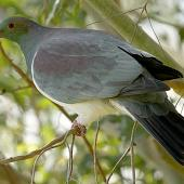 New Zealand pigeon. Perched adult. Wanganui, September 2012. Image © Ormond Torr by Ormond Torr