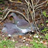 New Zealand pigeon. Pair mating on ground. Judgeford, Wellington, January 2017. Image © Tony Tomlin by Tony Tomlin