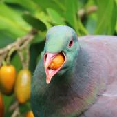 New Zealand pigeon. Adult consuming karaka fruit. Kapiti Island, January 2018. Image © Geoff de Lisle by Geoff de Lisle
