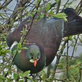 New Zealand pigeon. Adult feeding on plum leaves. Belmont, Lower Hutt, September 2015. Image © John Flux by John Flux