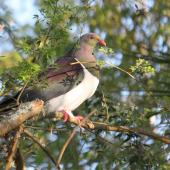 New Zealand pigeon. Adult in tree showing camouflage. Hamurana,  Rotorua, October 2011. Image © Kerry Oates by Kerry Oates
