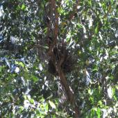 New Zealand pigeon. View of nest from below. Banks Peninsula. Image © James Mortimer by James Mortimer