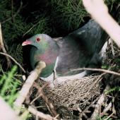 New Zealand pigeon. Adult on nest. Maori Bay, Stewart Island, December 1983. Image © Alan Tennyson by Alan Tennyson Alan Tennyson
