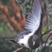 New Zealand pigeon. Hand-reared juvenile rain-bathing . Lower Hutt, July 2002. Image © John Flux by John Flux