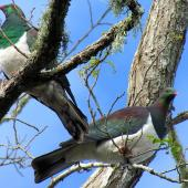 New Zealand pigeon. Two adults in treetop. Warkworth, August 2012. Image © Thomas Musson by Thomas Musson tomandelaine@xtra.co.nz