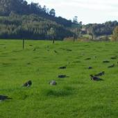 New Zealand pigeon. Flock feeding on spring pasture. Whenuakite,  Coromandel. Image © Noel Knight by Noel Knight