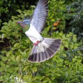 New Zealand pigeon. Adult. Karori Sanctuary / Zealandia, August 2013. Image © David Brooks by David Brooks