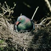 New Zealand pigeon. Adult on nest. Kapiti Island, February 1958. Image © Department of Conservation (image ref: 10041221) by Peter Morrison, Department of Conservation Courtesy of Department of Conservation