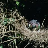 New Zealand pigeon. Adult feeding chick in nest. Kapiti Island, February 1958. Image © Department of Conservation (image ref: 10046912) by Peter Morrison, Department of Conservation Courtesy of Department of Conservation