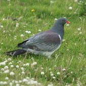 Chatham Island pigeon. Adult on ground. Tuku Farm, Chatham Island, January 2010. Image © David Boyle by David Boyle Courtesy of the Chatham Island Taiko trusthttp://www.taiko.org.nz