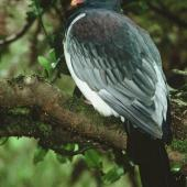 Chatham Island pigeon. Side view of adult perched in tree. Chatham Island. Image © Department of Conservation (image ref: 10034069) by Ian Flux, Department of Conservation Courtesy of Department of Conservation