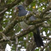 Chatham Island pigeon. Adult. Chatham Island, November 2020. Image © James Russell by James Russell